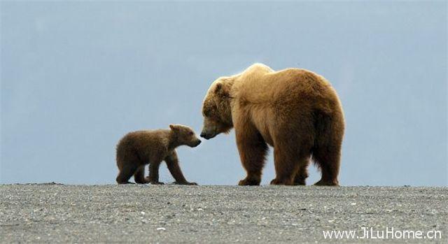 《灰熊全接触 Great Bear Stakeout》