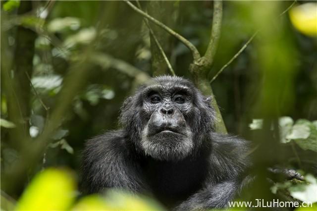 《黑猩猩 Chimpanzee》