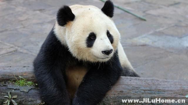 《爱上大熊猫 Wild About Pandas (2012)》