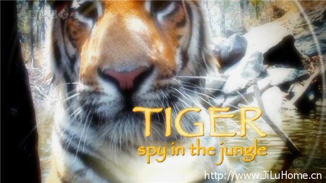 《虎:丛林中窥探 Tiger Spy In The Jungle》
