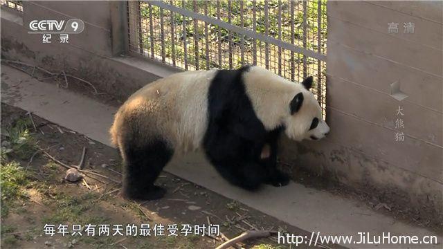 《大熊猫 Giant Pandas》