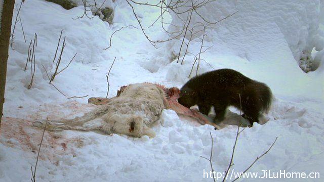 《北极野生大地 Wildest Arctic》