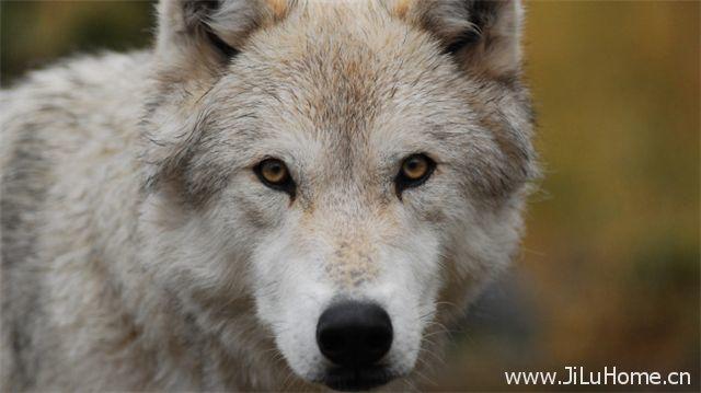 《狼群失落之地 Land Of The Lost Wolves》