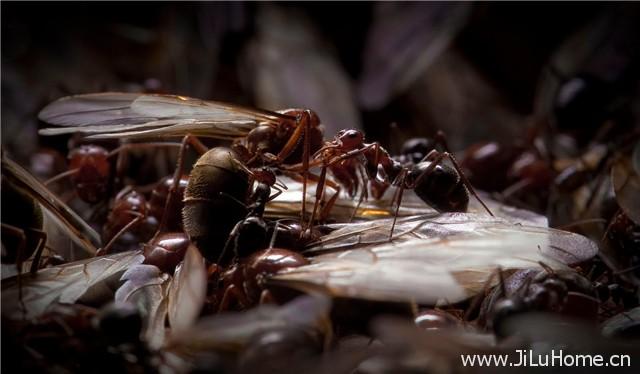 《自然世界:蚂蚁攻击 Natural World Ant Attack》