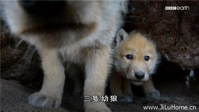 《雪狼家族与我 The Snow Wolf Family & Me》