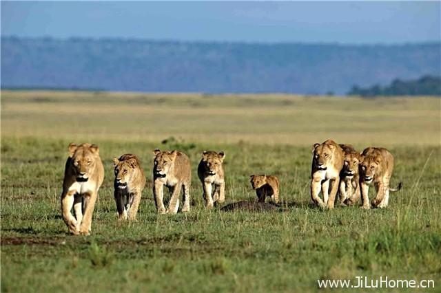 《非洲猫科:勇气的王国 African Cats: Kingdom of Courage》