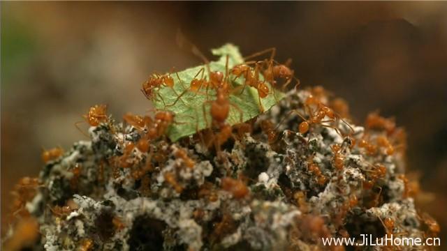 《蚂蚁星球 Planet Ant Life Inside the Colony》