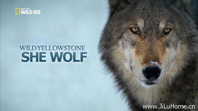 《黄石公园的母狼王 Wild Yellowstone She Wolf》