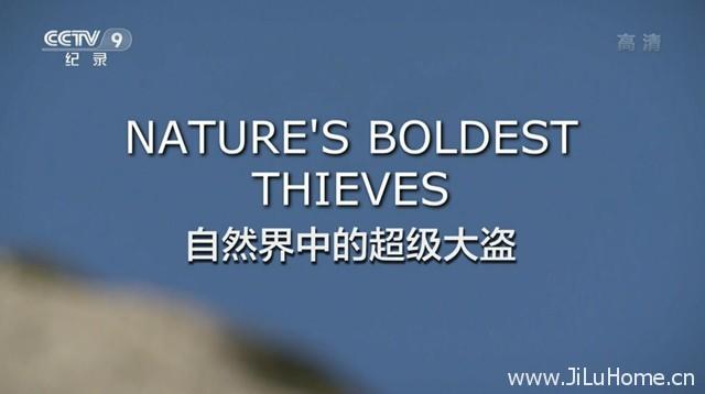 《自然界里的超级大盗 Nature`s boldest thieves》