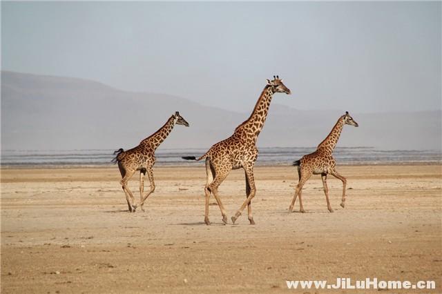 《非洲行纪/狂野非洲 African Safari (2013)》
