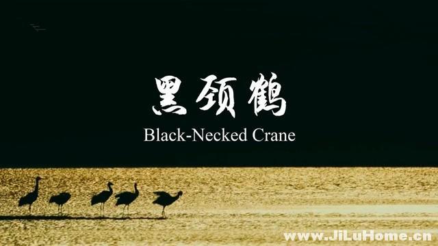 《中国珍稀物种·黑颈鹤》
