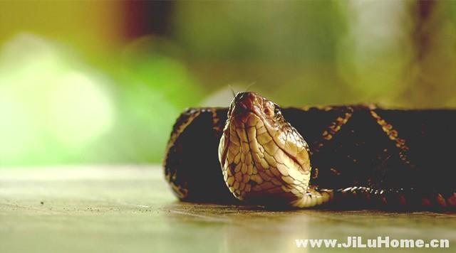 《蛇之惊艳奇观 The Beauty of Snakes (2003)》