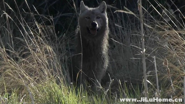 《狼之风暴 The Natural World: A Wolf Called Storm (2012)》