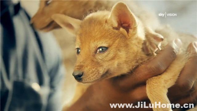 《神奇的犬科家族 Dogs: An Amazing Animal Family (2016)》